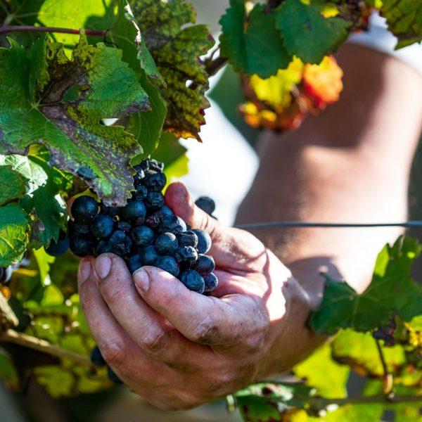 Raccolta manuale dell'uva nelle vigne di Gori Agricola a Nimis