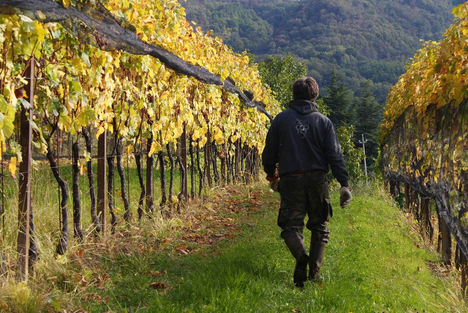 Piero Gori Gründer von Gori Agricola in den Weinbergen von Nimis